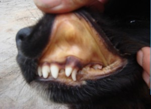 犬、附红细胞体、粘膜黄染、病理变化