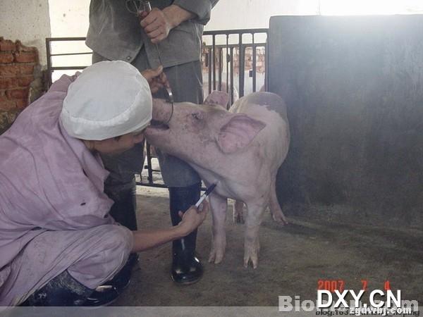 猪前腔静脉采血 - 中国动物保健