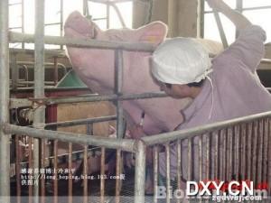猪前腔、静脉采血