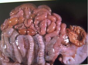 仔猪断奶后大肠杆菌病