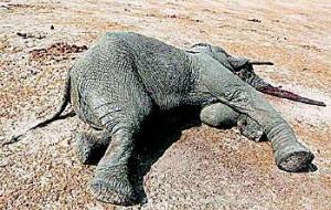 津巴布韦:大屠杀!300多头野生大象被毒害