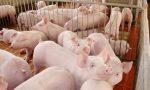 对母猪亚健康的认知及建议解决方案