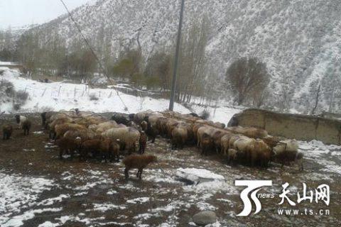 大雪未对玛纳斯县南部山区畜牧业造成较大影响