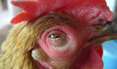 春季养鸡场四种鸡病疑难杂症防治办法