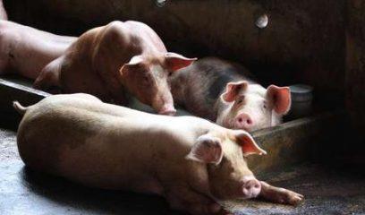 俄罗斯再次报告猪手足口疫情