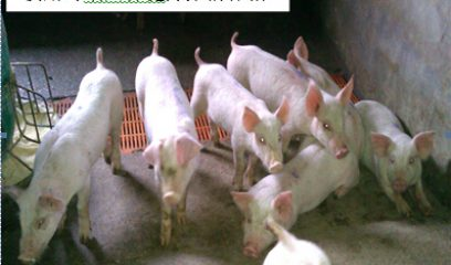 """【2014双效参选方案】""""吉祥三宝""""健康养猪保健方案"""