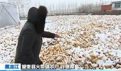 黑龙江省玉米丰收粮库不收 数百万吨霉变