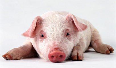 """春季养猪安全高效管理""""五字经"""""""