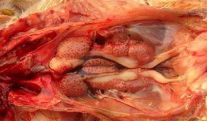 鸡传染性支气管炎的发生与防治