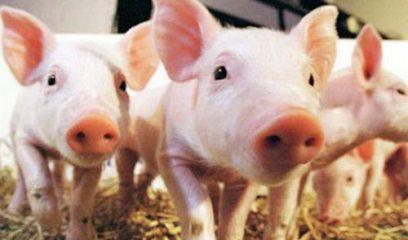 发现猪蓝耳病病毒复制及毒力相关的氨基酸位点
