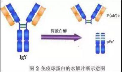 抗体解读系列3:精制卵黄抗体口服的理论基础和实践应用