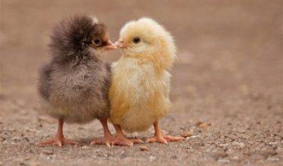 鸡传支预防有重点
