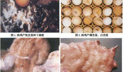 鸡减蛋综合征诊断&预防