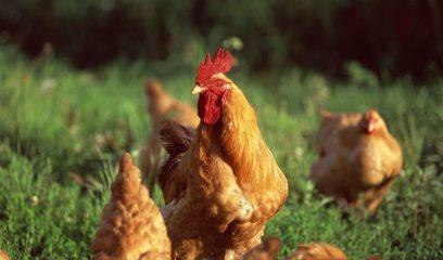 鸡呼吸道疾病的声音信号及病因分析