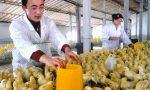 鸡传染性法氏囊的流行与防控