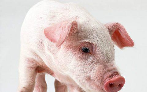 前沿速递   新型猪冠状病毒或对人类带来潜在威胁