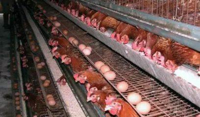 鸡传染性喉气管炎疫苗还有这几项值得关注