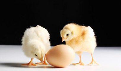 中国肉鸡产业发展现状及展望