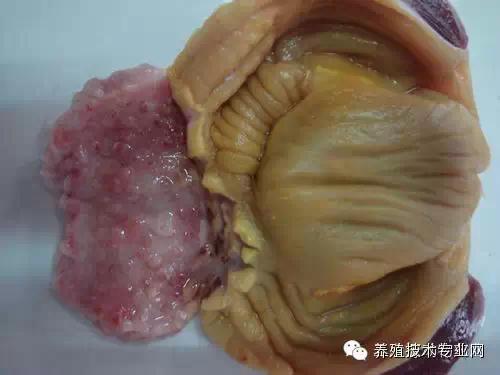 鸡传染性支气管炎解剖图谱和治疗方案