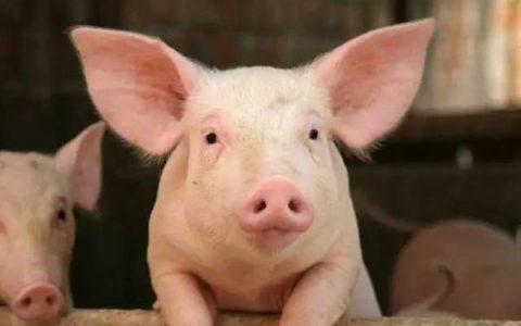 【非洲猪瘟专题】非洲猪瘟防控策略知多少