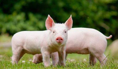 一图解读:养殖场预防非洲猪瘟有四招