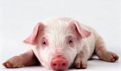 """生猪市场将会出现阶段性的短缺 """"非洲猪瘟""""还需谨慎对待"""