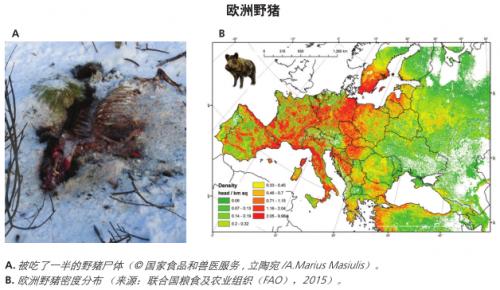 【非洲猪瘟专题】非洲猪瘟的传播
