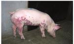 【非洲猪瘟专题】西班牙非洲猪瘟根除计划的经验与借鉴