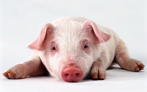 西班牙非洲猪瘟根除计划的经验与借鉴