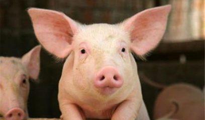 海关:禁止从日本、保加利亚、比利时三国进口猪及制品