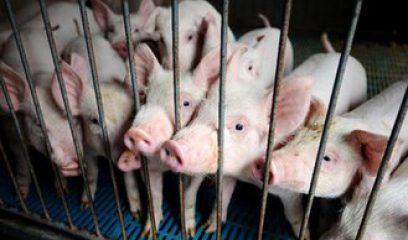 四川:由于非洲猪瘟,全面暂停生猪及生猪肉品入川