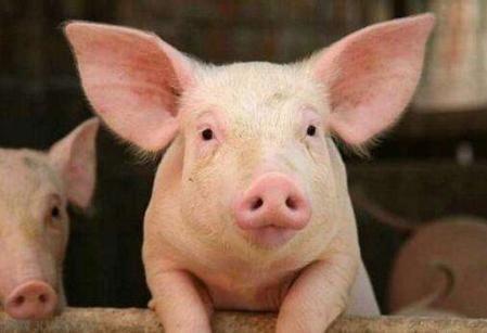 """好消息!农业农村部:疫区出栏肥猪可以""""点对点""""调运了!"""