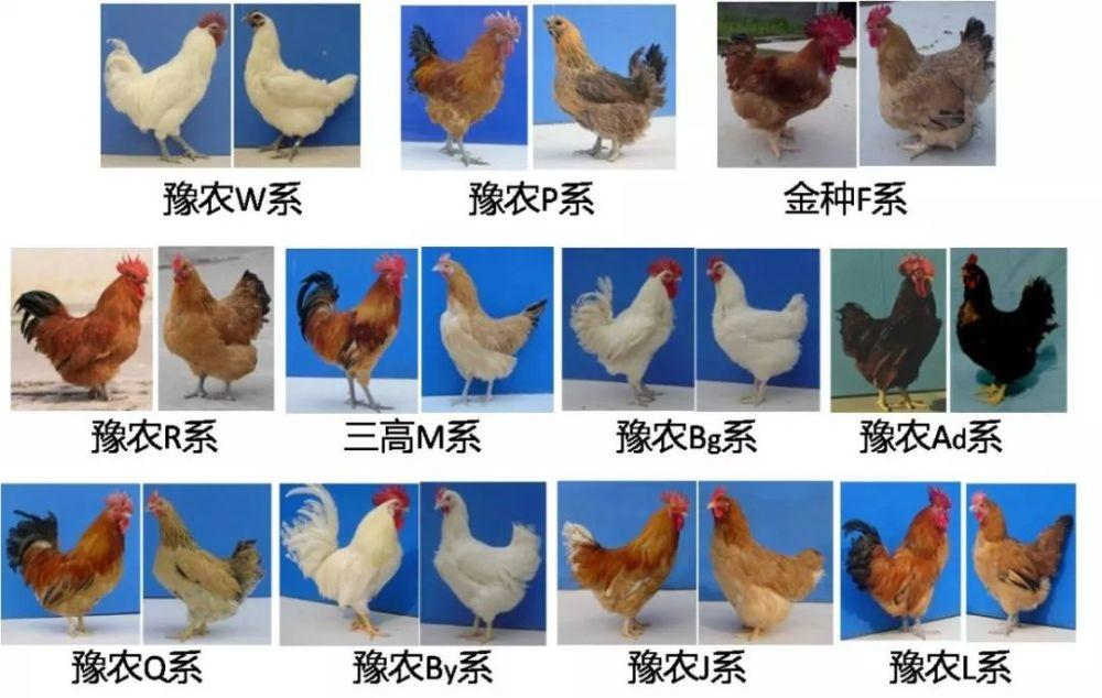 《地方鸡保护利用技术体系创建与应用》获得国家科技进步二等奖
