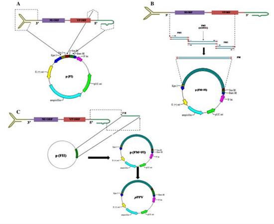 猪细小病毒感染性克隆  细小病毒疫苗研发新载体平台
