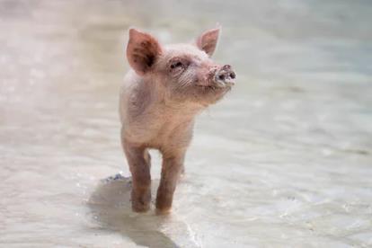 """019年第15周生猪及猪肉价格环比下降"""""""
