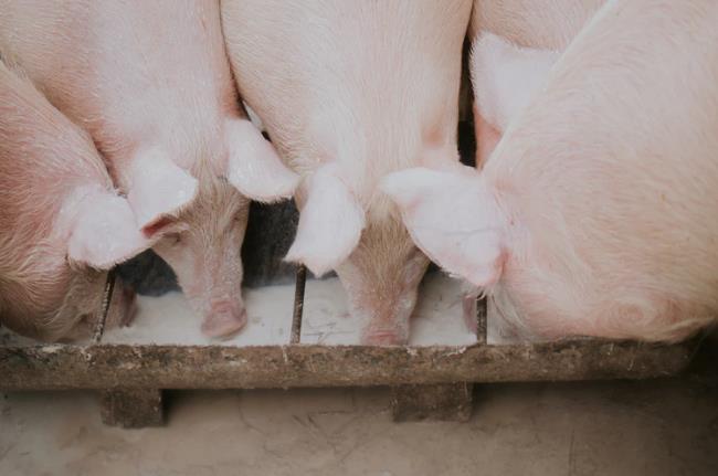我国非洲猪瘟疫情趋缓