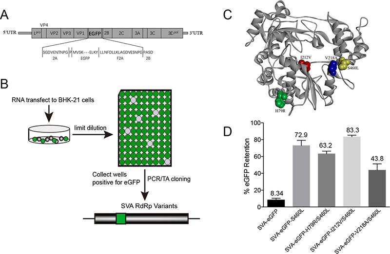 哈兽研 塞尼卡病毒聚合酶保真性与病毒重组的相关性研究发表