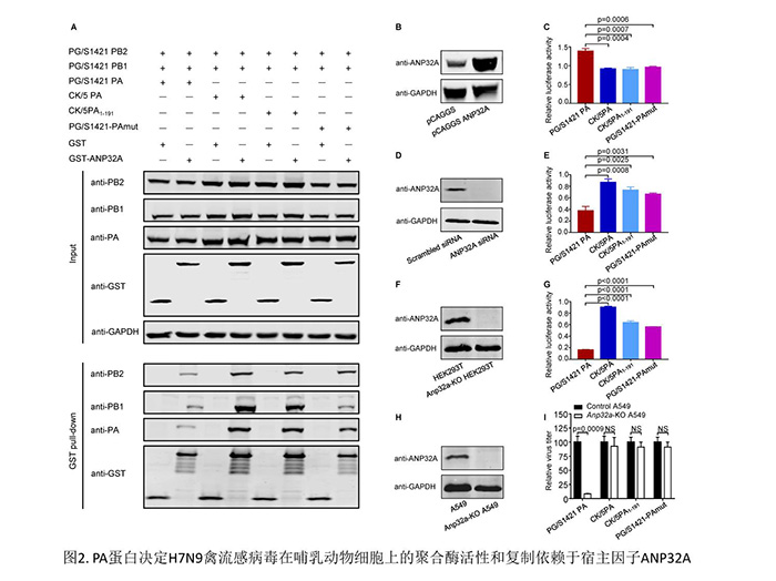 H7N9禽流感病毒适应哺乳动物宿主机制研究方面取得重要进展
