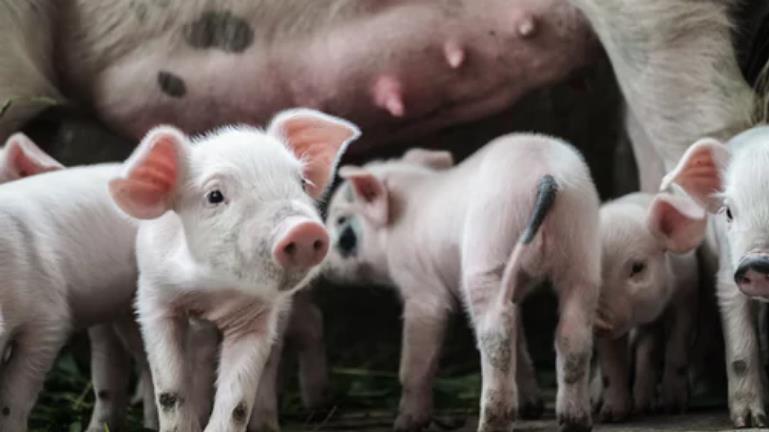 """互联网巨头跨界养猪:""""猪脸识别""""技术有多厉害?"""
