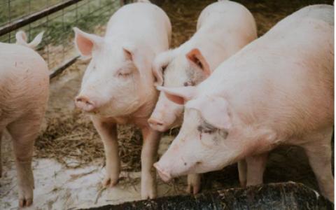 """京东公布""""AI养猪""""新成果:把每头猪饲养成本降低了80元"""