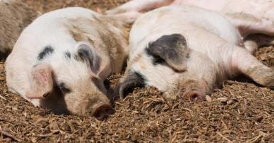 农业农村部副部长余欣荣:我国非洲猪瘟防控工作取得阶段性成效