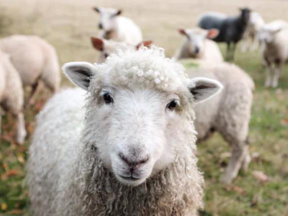 山东单县成立青山羊产业研究院
