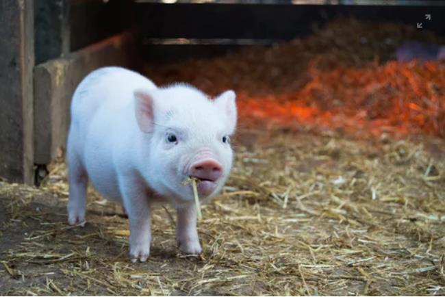 河北省将开展非洲猪瘟防控专项整治活动