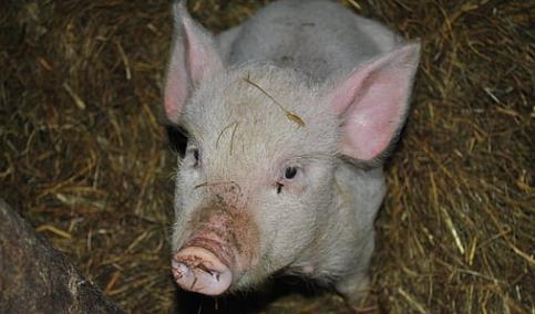 非洲猪瘟—国际动物疫情最新动态