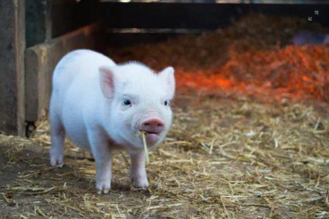 抓住机遇   河北:多家养猪龙头正建设大型养猪场