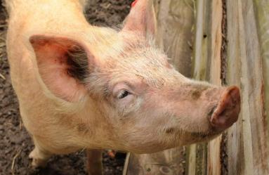 农业农村部:生猪及猪肉价格环比上涨
