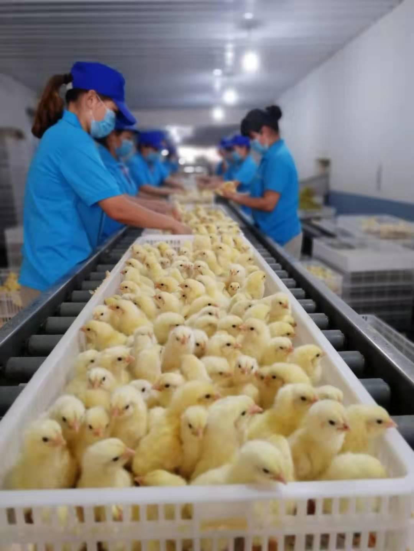 【苗惠中国】以种禽为核心,凭信誉走四方——河南丰园禽业有限公司